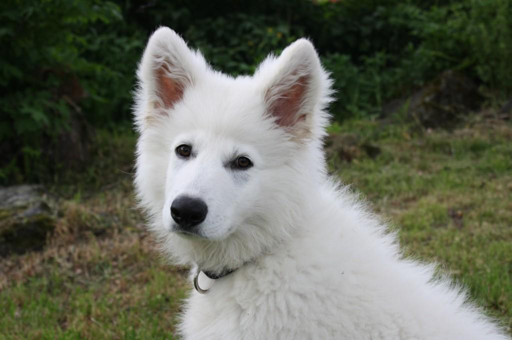 Igor, en vit underbar schäfer